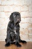 Los perritos grises, negros y marrones crían Neapolitana Mastino Controladores de perro que entrenan a perros desde niñez Foto de archivo