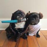Los perritos pegan detrás Fotos de archivo libres de regalías
