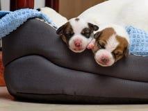 Los perritos recién nacidos hermosos del terrier de Russel del enchufe, duermen dulce en una cama suave Empañe el fondo y una peq Fotografía de archivo libre de regalías