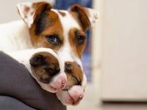 Los perritos recién nacidos hermosos del terrier de Russel del enchufe, duermen dulce en una cama suave Empañe el fondo y una peq Imagen de archivo libre de regalías