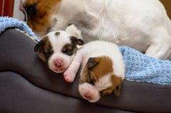 Los perritos recién nacidos hermosos del terrier de Russel del enchufe, duermen dulce en una cama suave Empañe el fondo y una peq Foto de archivo