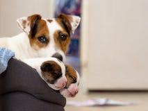 Los perritos recién nacidos hermosos del terrier de Russel del enchufe, duermen dulce en una cama suave Fondo de Blured con la pe Fotos de archivo libres de regalías