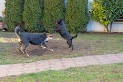 Los perros Appenzeller y perrito que juega o que lucha en el jardín foto de archivo