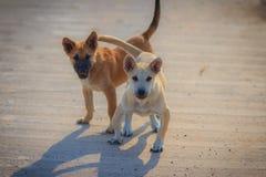Los perros blancos y marrones jovenes se están colocando en piso concreto en Foto de archivo