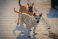 Los perros blancos y marrones jovenes se están colocando en piso concreto en Imagen de archivo