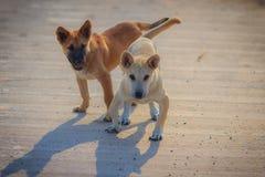 Los perros blancos y marrones jovenes se están colocando en piso concreto en Fotos de archivo libres de regalías