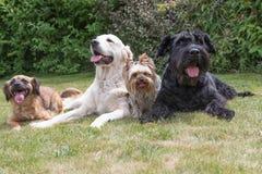 Los perros con una lengua que resalta están mintiendo en el césped imagen de archivo libre de regalías