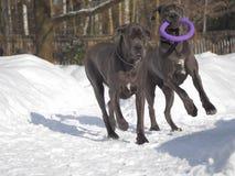 Los perros crían el color azul de great dane que juega con el juguete del tirador del cuello para los perros imagenes de archivo