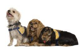 Los perros de aguas de rey Charles arrogantes y mezclado-crían Fotografía de archivo