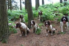 Los perros de aguas de saltador esperan pacientemente mientras que siendo entrenado Imagen de archivo libre de regalías