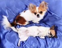 los perros de la chihuahua están descansando en terciopelo azul Fotos de archivo libres de regalías