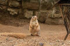 Los perros de las praderas son los pequeños animales que viven subterráneo foto de archivo