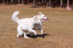 Los perros de pastor blancos juegan y se ejecutan Foto de archivo libre de regalías