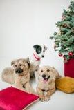 Los perros de perrito lindos cerca adornaron el árbol de navidad en estudio fotografía de archivo libre de regalías