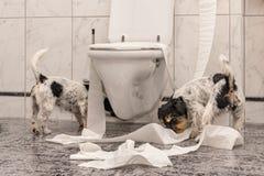 Los perros desobedientes están haciendo un lío en el apartamento Poco destructor Jack Russell Terrier foto de archivo libre de regalías