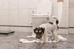 Los perros desobedientes est?n haciendo un l?o en el apartamento Poco destructor Jack Russell Terrier fotos de archivo