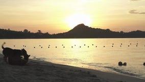 Los perros en el fondo de la salida del sol en Lamai varan en Koh Samui Island, vídeo común de la cantidad de Tailandia metrajes