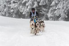 Los perros fornidos corrientes en un trineo del perro compiten con Imágenes de archivo libres de regalías