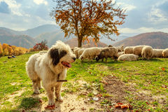 Los perros guardan las ovejas en el pasto de la montaña Fotografía de archivo