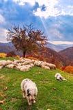 Los perros guardan las ovejas en el pasto de la montaña Foto de archivo