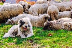 Los perros guardan las ovejas en el pasto de la montaña Imagenes de archivo