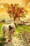 Los perros guardan las ovejas en el pasto de la montaña Imagen de archivo