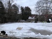 Los perros juegan en un mundo del hielo fotos de archivo