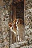 Los perros juntan inclinar hacia fuera una ventana Foto de archivo libre de regalías