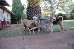 Los perros lindos disfrutan de hora del recreo fotos de archivo libres de regalías
