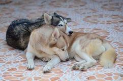 Los perros lindos están mintiendo en el área de la casa Cerrado en la casa fotografía de archivo