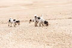 Los perros lindos funcionan con encima la tierra arenosa y divertirse Dos terrieres de Gato Russell fotos de archivo libres de regalías