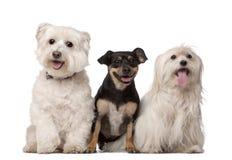 Los perros malteses, 9 años y mezclado-crían Foto de archivo libre de regalías