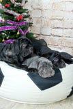 Los perros Neapolitana de la raza de Mastino de las fotos tienen un árbol de navidad Imagen de archivo libre de regalías