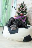 Los perros Neapolitana de la raza de Mastino de las fotos tienen un árbol de navidad Imagenes de archivo