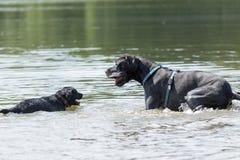 Los perros negros están jugando en el agua Imagen de archivo libre de regalías