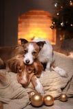 Los perros Nova Scotia Duck Tolling Retriever y Jack Russell Terrier Christmas sazonan 2017, Año Nuevo Fotografía de archivo