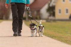 Los perros obedientes caminan en un correo con su due?o en el pueblo - Jack Russell Terriers lindo imagenes de archivo