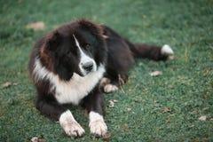 Los perros pedigríes Shepherd la mentira en una hierba verde suave fotografía de archivo libre de regalías
