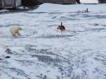 Los perros raspan en el oso polar e intentan librarse de él foto de archivo