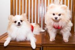 Los perros se vistieron en traje chino del Año Nuevo con la palabra afortunada Fotos de archivo