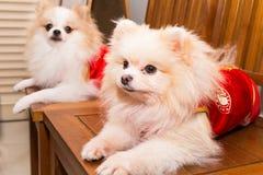 Los perros se vistieron en traje chino del Año Nuevo con la palabra afortunada Fotografía de archivo libre de regalías