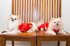 Los perros se vistieron en traje chino del Año Nuevo con la palabra afortunada Fotografía de archivo