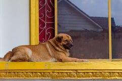 Los perros sin hogar viven en el templo Foto de archivo