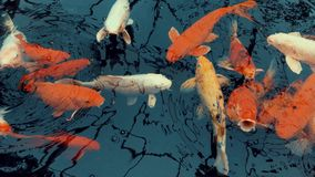 Los pescados anaranjados y blancos de la carpa están nadando en la charca almacen de metraje de vídeo