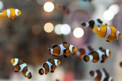 Los pescados de anémona están nadando en el acuario fotos de archivo