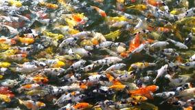 Los pescados de Koi o los pescados de la carpa están nadando en la charca metrajes