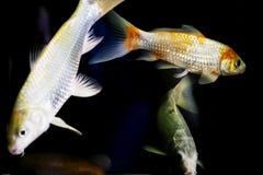 Los pescados de Koy flotan en el acuario en un fondo negro Fotos de archivo libres de regalías