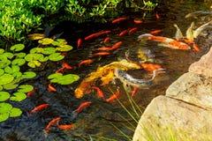 Los pescados de lujo coloridos del koi en la nataci?n del agua superficial en el jard?n de la charca disfrutan de flotaci?n de la fotografía de archivo libre de regalías