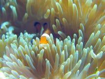Los pescados de Nemo se dirigen Imagen de archivo