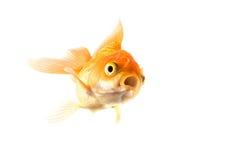 Los pescados de oro del koi asustaron aislado en el fondo blanco Foto de archivo